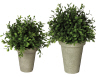 Large and Small Boxwood Pots